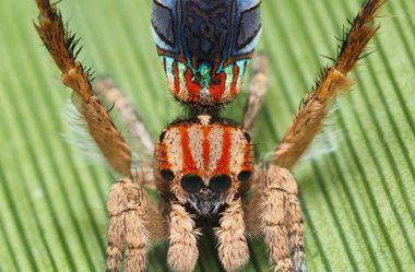 As aranhas do pavão mostram mais de suas cores