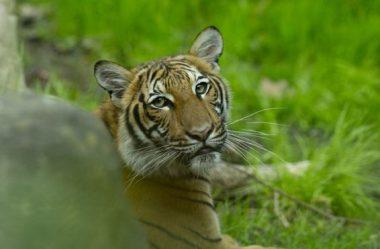 Coronavírus: Tigre no zoológico do Bronx dá positivo para Covid-19